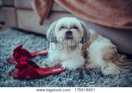 Shih tzu dog lying on carpet at woman slippers and waiting for owner when she wake up