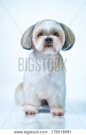 Shih tzu dog with short hair after grooming front view. On bright white and blue background.