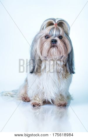 Shih tzu dog with long hair front view. On bright white and blue background.