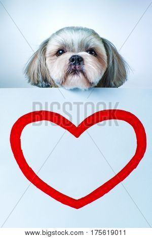 Shih tzu dog with red heart shape on paper. On bright white and blue background.