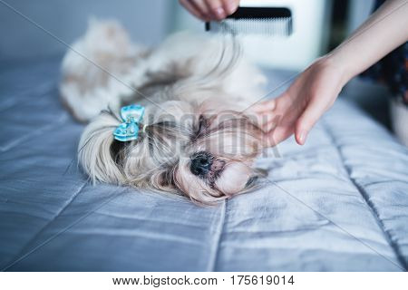 Shih tzu dog lying on bed and grooming with comb