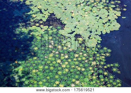 Water surface covered with green leaves of caltrops (Trapa natans) and lilies (Nuphar lutea).