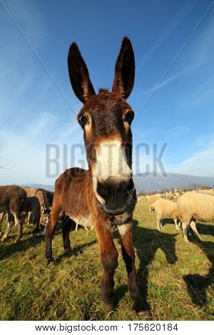 Young Donkey With Brown Fur Grazing With The Herd Of Sheep On Th