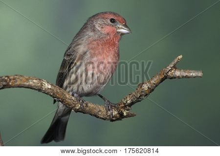 A male House Finch, Haemorhous mexicanus sitting on a branch with a smooth green background