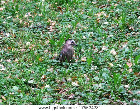 Jay bird animal on the grass photo