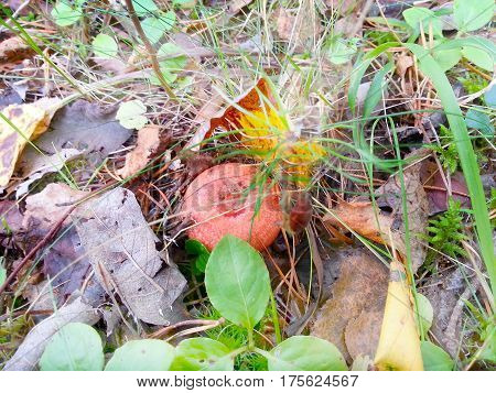 A bright orange fungi among the grass and fallen leaves.
