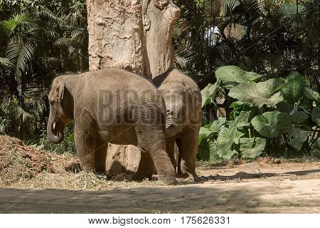 photo of two young Asian elephants playing around a tree in the Indian sunshine
