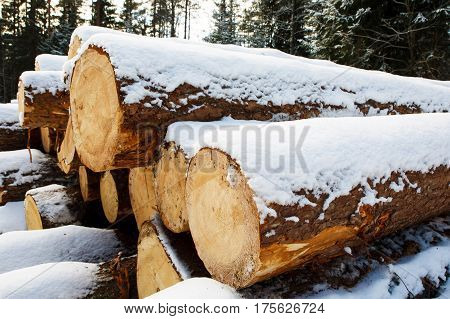 The trunks of large pine trees prepared for export in the winter season. Stacked in stacks of sawn forest covered with snow. Industrial logging of pine trees. Nature is used by people.