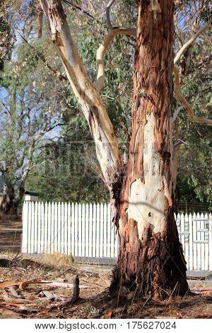 Australian Eucalyptus Gum Tree shedding its bark