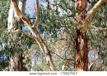 Abstract Australian Gum Trees