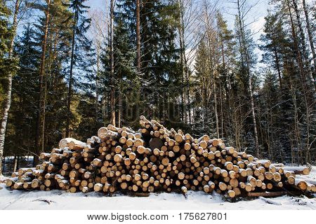 Hill pine trees are prepared for export in the winter season. Stacked in stacks of sawn forest covered with snow. Industrial logging of pine trees. Nature is used by people.