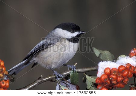 A Carolina Chickadee, Poecile carolinensis on a branch with red berries & snow in winter
