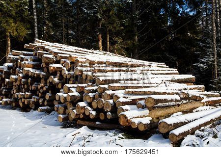 The large trunks of fallen pine trees prepared for export from winter forest. Stacked in stacks of sawn forest covered with snow. Industrial logging of pine trees. Nature is used by people.