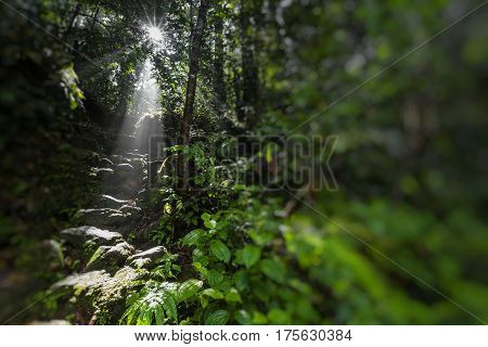 Sunlight rays pour through leaves in a rainforest at Sinharaja Forest Reserve Sri Lanka.