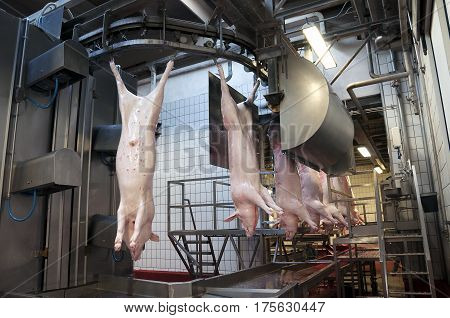 carcasses hanging from the conveyor belt in slaughter plant