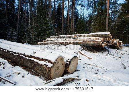 Trunks of fallen pine trees for export from the winter forest. Stacked in stacks of sawn forest covered snow. Industrial logging of pine trees. Nature is used by people.