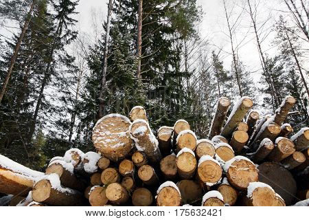 Trunks of the felled large pine trees are prepared for export in the winter season. Stacked in stacks of sawn forest covered with snow. Industrial logging of pine trees. Nature is used by people.