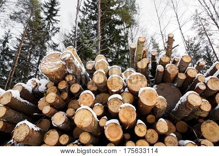 The trunks of the felled large pine trees are prepared for export in the winter season. Stacked in stacks of sawn forest covered with snow. Industrial logging of pine trees. Nature is used by people.