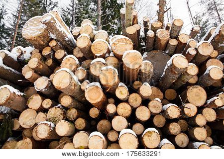 Sections of the Trunks of large pine trees prepared for export in the winter season. Stacked in stacks of sawn forest covered with snow. Industrial logging of pine trees. Nature is used by people.
