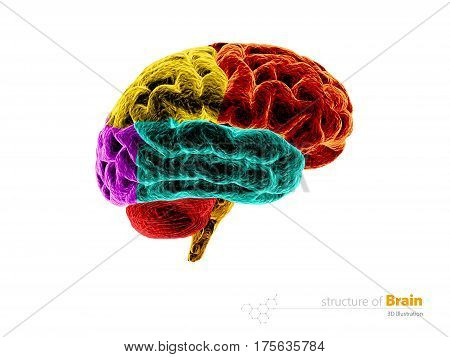 Human brain anatomy structure. Human brain anatomy 3d illustration. isolated white