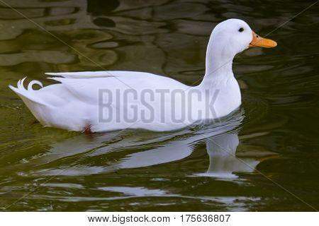CAGLIARI - duck swimming in the pond in the Park of Monte Claro - Sardinia