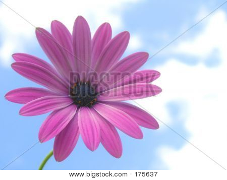 Gerbera Against Blue Sky