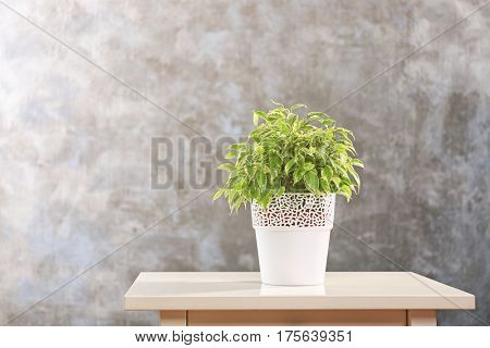Beautiful ficus in pot on grey background