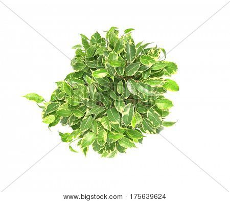 Beautiful ficus on white background, top view