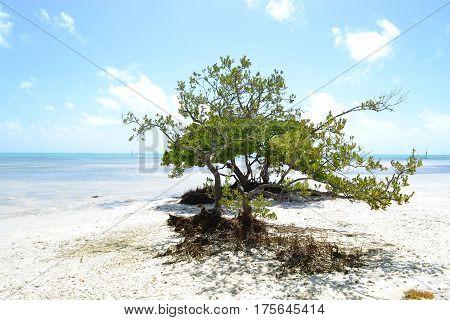 Botoncito's tree in the beaches of The corns, Florida Arbol de Botoncito en las playas de Los callos, Florida