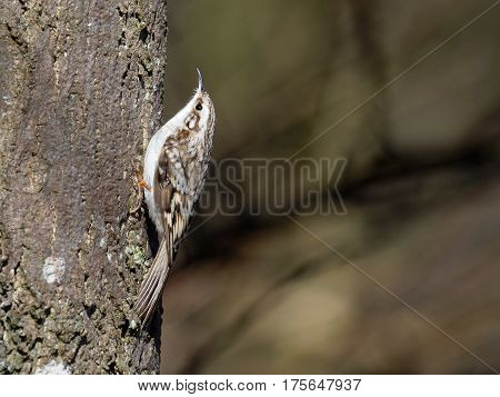 Tree creeper for once out in the sun - Certhia familiaris