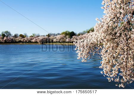 Cherry trees blooming on Potomac river basin in Washington, D.C.