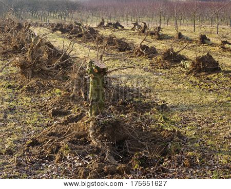 Apple orchard renewal torn out old fruit trees