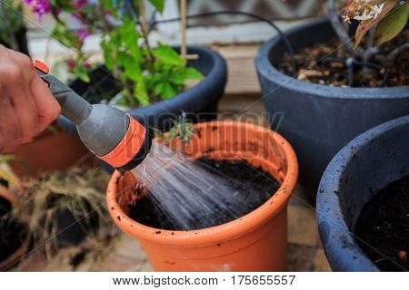 Adult man planting and watering tomato in flower pot