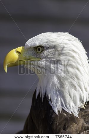 Bald eagle head close-up profile. Bird of prey full of American symbolism.