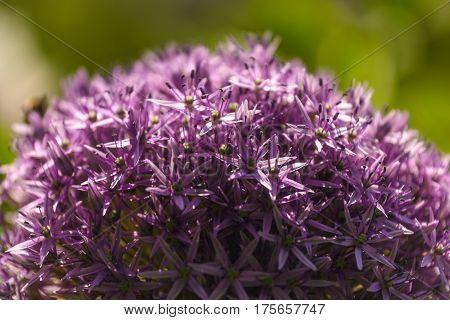 Closeup of Allium (Allium Giganteum) in full flower growing in the garden.