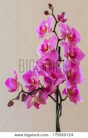 Pink or purple flowers phalaenopsis orchid tropical plant.