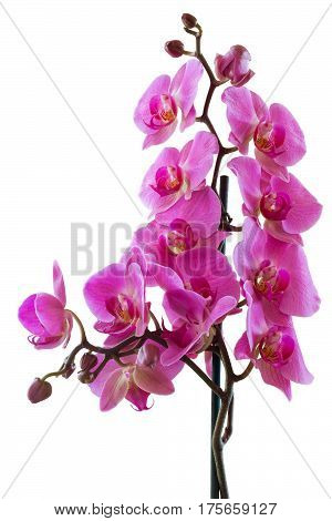 Pink flowers phalaenopsis orchid tropical plant. Isolated white background.