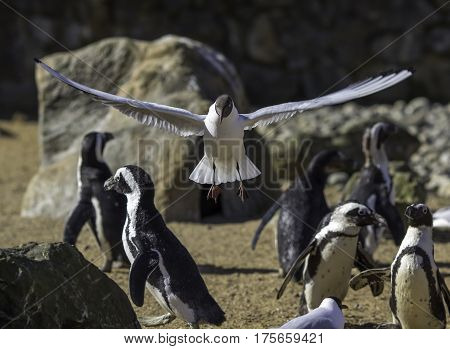 Evolution of birds. Feathers wings and flight. Penguins remain nonchalant as gull shows off what proper wings can do. Serious science and comical meme potential.