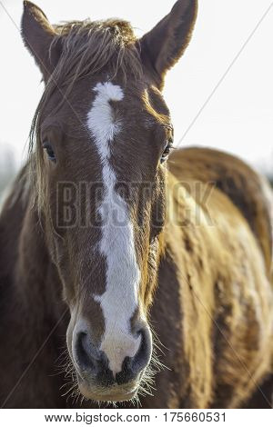 Suffolk Punch horse (Equus caballus). Head of this magnificent rare breed horse shown in close up portrait.