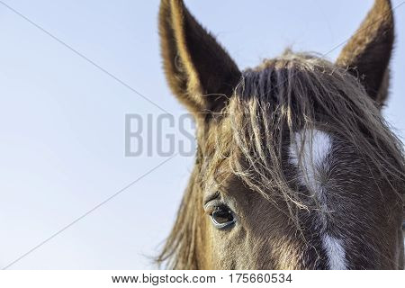 Close up of a Suffolk Punch chestnut coat horse eye and forehead