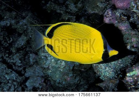Dotted Buterflyfish, (Butterfly Fish) Chaetodon semeion on a coral reef in the Kwajalein Atoll