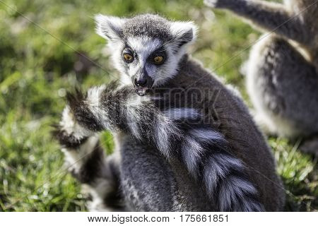 Funny animal surprised expression from a ring-tailed lemur. This shocked lemur can't believe its eyes. Useful meme image.