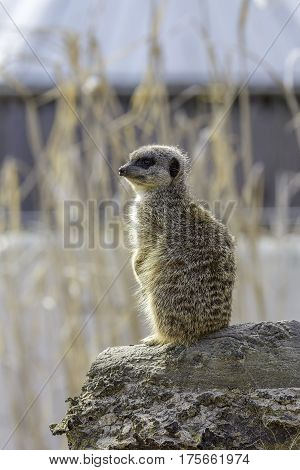 Meerkat standing on sentry duty. This attentive meerkat is standing on guard on a log and is isolated by selective focus against a blurred background.