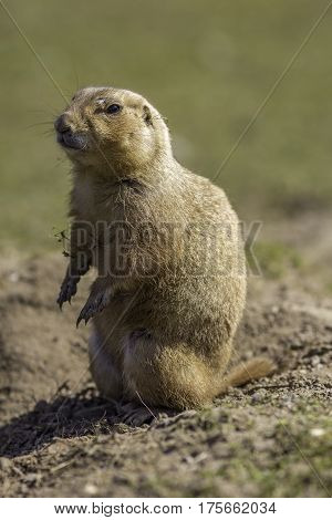 A black-tailed prairie dog or marmot (Cynomys ludovicianus) standing on bare soil in a grass field.