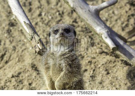 Meerkat (Suricata suricatta) on sentry duty looking at camera.