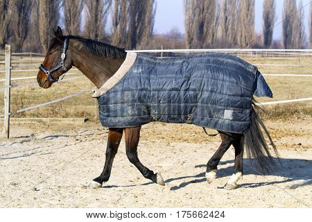 Thoroughbred saddle horse galloping in bridle and blanket at animal farm