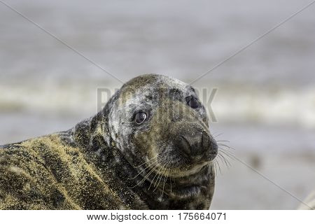 Sad looking seal with puppy eyes covered in sand. Grey seal from the Horsey wild seal colony Norfolk UK.