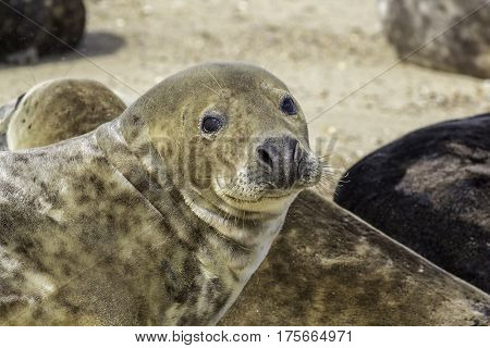 This brown colored grey seal (Halichoerus grypus) is from the Horsey wild seal colony in Norfolk UK. It has sand in its eye.
