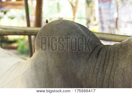 Closeup of cow hump / farm animal