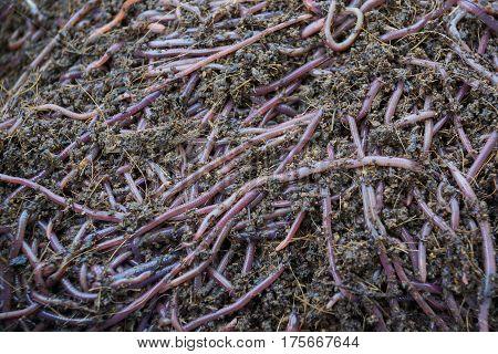 Earthworm farm / Using earthworm to produce fertile soil and organic farming
